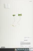 Image of Anemone minima