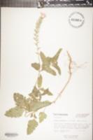 Image of Verbena canadensis