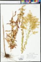 Solidago odora image