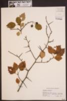 Image of Crataegus coccinata