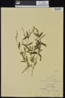 Justicia ovata var. lanceolata image