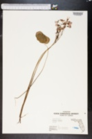 Image of Oxalis bowiei