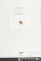 Drosanthemum floribundum image