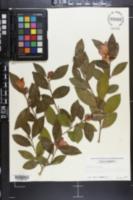 Camellia sasanqua image