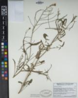 Sisymbrium orientale image