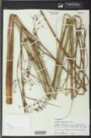 Cladium jamaicense image
