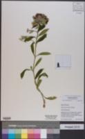 Dianthus barbatus image