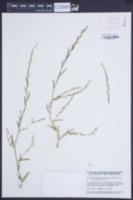 Corispermum leptopterum image