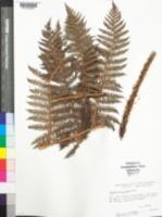 Image of Cyathea atrospinosa