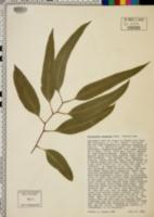 Image of Eucalyptus maculata
