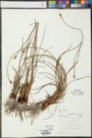 Xyris caroliniana image