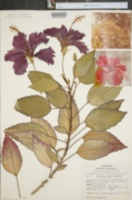 Hibiscus rosa-sinensis image