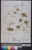 Image of Pergularia daemia