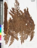 Image of Megalastrum villosum