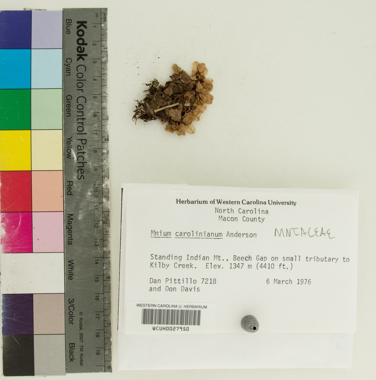 Plagiomnium image