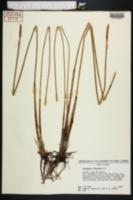 Eleocharis cellulosa image