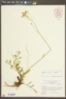 Image of Hieracium bauhini