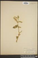 Solanum nigrum image