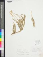 Image of Lycopodium lagopus