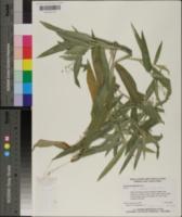 Panicum boscii image