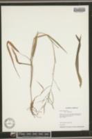 Panicum pilosum image