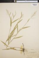 Image of Panicum sphaerocarpon