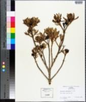 Borrichia arborescens image