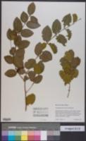 Krugiodendron ferreum image