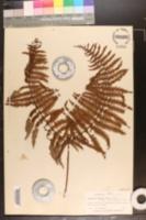Image of Gleichenia glauca