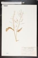Image of Erucastrum nasturtiifolium