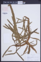 Image of Korthalsella complanata