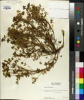 Image of Lupinus sabulosus