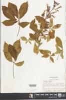Image of Aesculus x hybrida