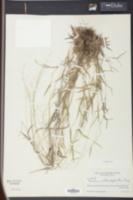 Image of Panicum albomarginatum