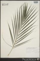 Chrysalidocarpus lutescens image