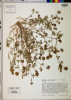 Trifolium gracilentum image