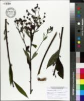Image of Vernonia glauca
