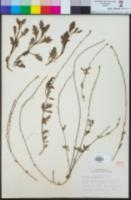 Verbena menthifolia image