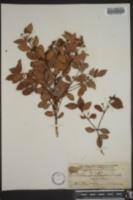 Eugenia rhombea image