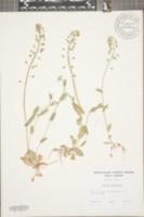 Microthlaspi perfoliatum image