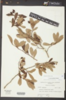 Image of Crataegus pyracanthoides
