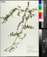 Vicia villosa subsp. varia image