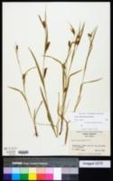Carex flaccosperma image