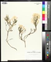Linanthus californicus image
