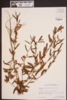 Chamaecrista fasciculata image