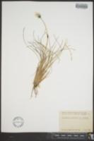 Eriophorum vaginatum subsp. spissum image