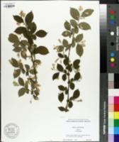 Image of Styrax calvescens