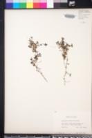 Houstonia rotundifolia image