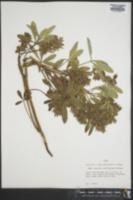 Image of Pediomelum latestipulatum