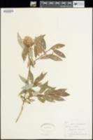 Image of Salix eriocephala